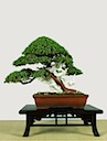 A Limited Collection of Bonsai Trees